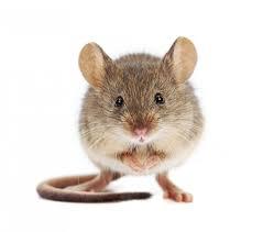 תוצאת תמונה עבור עכבר